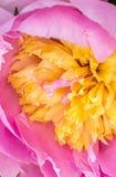 Ρόδινες/κίτρινες μακρο λουλούδι/περίληψη Στοκ Φωτογραφίες