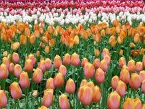 Ρόδινες και κίτρινες τουλίπες, κόκκινες τουλίπες, άσπρες τουλίπες που ανθίζουν στους κήπους Στοκ Φωτογραφίες