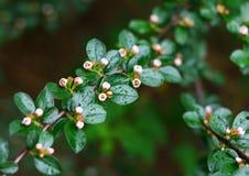 Ρόδινες λουλούδι και δροσιά Στοκ φωτογραφία με δικαίωμα ελεύθερης χρήσης
