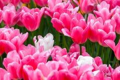Ρόδινες τουλίπες σε έναν κήπο Στοκ Εικόνες