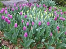 Ρόδινες τουλίπες στον κήπο Στοκ Εικόνες