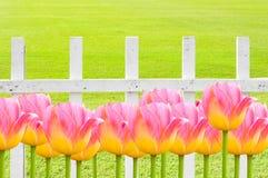 Ρόδινες τουλίπες, φρέσκα λουλούδια τουλιπών άνοιξη με τον άσπρο ξύλινο φράκτη Στοκ φωτογραφίες με δικαίωμα ελεύθερης χρήσης