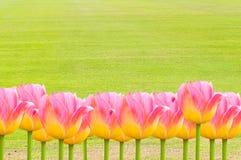 Ρόδινες τουλίπες, φρέσκα λουλούδια τουλιπών άνοιξη με το διάστημα για το κείμενο Στοκ Φωτογραφίες