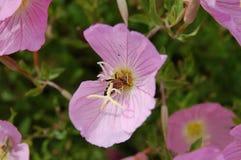 Ρόδινες Primarosa και μέλισσα στοκ φωτογραφία