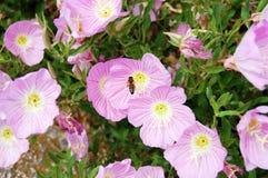 Ρόδινες Primarosa και μέλισσα στοκ εικόνα