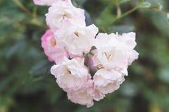 Ρόδινη άνθηση λουλουδιών τριαντάφυλλων Στοκ Φωτογραφίες
