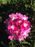 Ρόδινη άνθιση λουλουδιών Στοκ Εικόνες