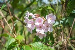 Ρόδινη άνθιση λουλουδιών Στοκ Εικόνα