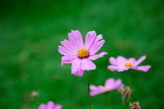 Ρόδινη άνθιση λουλουδιών στοκ εικόνες με δικαίωμα ελεύθερης χρήσης