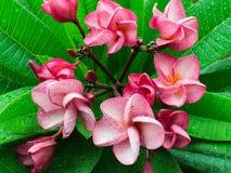 Ρόδινη άνθιση λουλουδιών Plumelia Στοκ Εικόνα