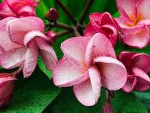 Ρόδινη άνθιση λουλουδιών Plumelia Στοκ Εικόνες