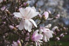 Ρόδινη άνθιση magnolia και άνοιξη Στοκ φωτογραφίες με δικαίωμα ελεύθερης χρήσης