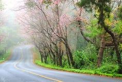 Ρόδινη άποψη τοπίων sakura σχετικά με το δρόμο στο ANG Khang, Γ Doi Στοκ φωτογραφίες με δικαίωμα ελεύθερης χρήσης