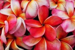 Ρόδινη δέσμη λουλουδιών plumeria Στοκ εικόνες με δικαίωμα ελεύθερης χρήσης