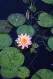 Ρόδινη ανάπτυξη λουλουδιών Lotus στη μέση μιας λίμνης στον κήπο που περιβάλλεται από τα μαξιλάρια κρίνων Στοκ φωτογραφία με δικαίωμα ελεύθερης χρήσης