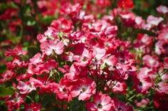 Ρόδινη ανασκόπηση λουλουδιών Στοκ Εικόνες