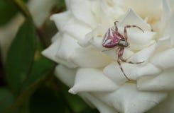 Ρόδινη αράχνη Στοκ Φωτογραφίες