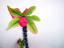 Ρόδινη ευφορβία Milii που επιδεικνύει τα λουλούδια Στοκ φωτογραφία με δικαίωμα ελεύθερης χρήσης