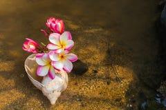 Ρόδινη κίτρινη plumeria λουλουδιών ή δέσμη frangipani στη θάλασσα conch αυτή Στοκ εικόνα με δικαίωμα ελεύθερης χρήσης