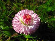 Ρόδινη και άσπρη μακροεντολή λουλουδιών νταλιών Στοκ Φωτογραφίες
