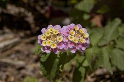 Ρόδινη και κίτρινη φωτογραφία λουλουδιών κήπων Στοκ Εικόνες