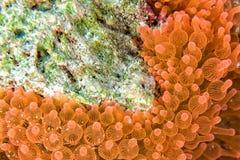 Ρόδινη και πορτοκαλιά λεπτομέρεια πλοκαμιών anemone Στοκ Φωτογραφία