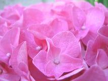Ρόδινη κινηματογράφηση σε πρώτο πλάνο ανθών λουλουδιών hortensias Στοκ Εικόνες