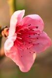 Ρόδινη κινηματογράφηση σε πρώτο πλάνο λουλουδιών άνοιξη Στοκ φωτογραφία με δικαίωμα ελεύθερης χρήσης