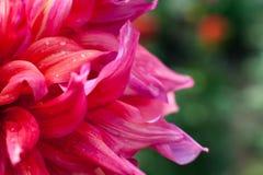 Ρόδινη κινηματογράφηση σε πρώτο πλάνο λουλουδιών νταλιών με τα waterdrops Στοκ Εικόνες