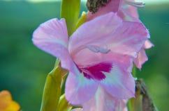 Ρόδινη κινηματογράφηση σε πρώτο πλάνο λουλουδιών της Lilia στον κήπο στοκ φωτογραφίες
