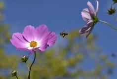 Ρόδινη μέλισσα μελιού μπλε ουρανού λουλουδιών στοκ εικόνες