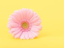 Ρόδινη μαργαρίτα gerber σε κίτρινο Στοκ φωτογραφίες με δικαίωμα ελεύθερης χρήσης