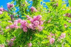 Ρόδινη μαύρη ακρίδα, λουλούδια pseudoacacia Robinia στοκ εικόνα