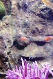 Ρόδινη μεφίτιδα clownfish Στοκ εικόνες με δικαίωμα ελεύθερης χρήσης