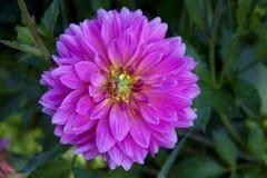 Ρόδινη ντάλια εγκαταστάσεων κήπων λουλουδιών Στοκ εικόνες με δικαίωμα ελεύθερης χρήσης