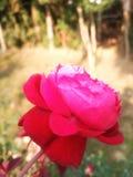 Ρόδινη ομορφιά στοκ φωτογραφία με δικαίωμα ελεύθερης χρήσης
