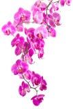 Ρόδινη ορχιδέα λουλουδιών Στοκ φωτογραφία με δικαίωμα ελεύθερης χρήσης