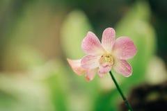Ρόδινη ορχιδέα στη φύση στοκ φωτογραφία με δικαίωμα ελεύθερης χρήσης