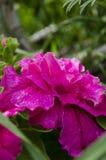 Ρόδινη πετούνια στον κήπο Στοκ Εικόνες