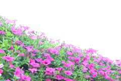 Ρόδινη πετούνια Στοκ εικόνα με δικαίωμα ελεύθερης χρήσης