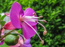 Ρόδινη πορφυρή φούξια άνθιση λουλουδιών Στοκ Φωτογραφίες