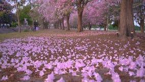 Ρόδινη πτώση λουλουδιών από το δέντρο απόθεμα βίντεο