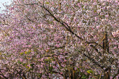 ρόδινη σάλπιγγα δέντρων Στοκ φωτογραφία με δικαίωμα ελεύθερης χρήσης