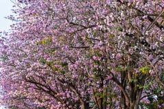 ρόδινη σάλπιγγα δέντρων Στοκ Εικόνα