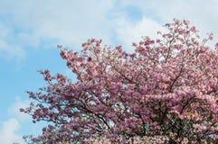 ρόδινη σάλπιγγα δέντρων Στοκ φωτογραφίες με δικαίωμα ελεύθερης χρήσης