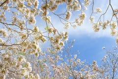 ρόδινη σάλπιγγα δέντρων Στοκ εικόνα με δικαίωμα ελεύθερης χρήσης
