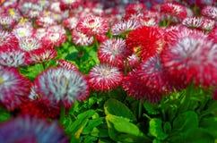 Ρόδινη συστάδα μαργαριτών στον κήπο Στοκ Εικόνες