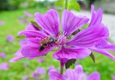 ρόδινη σφήκα λουλουδιών Στοκ εικόνα με δικαίωμα ελεύθερης χρήσης