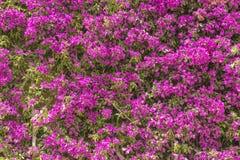 Ρόδινη σύσταση υποβάθρου τοίχων κήπων λουλουδιών Στοκ φωτογραφία με δικαίωμα ελεύθερης χρήσης