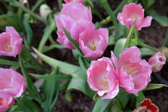 ρόδινη τουλίπα λουλου&delt Στοκ Φωτογραφίες